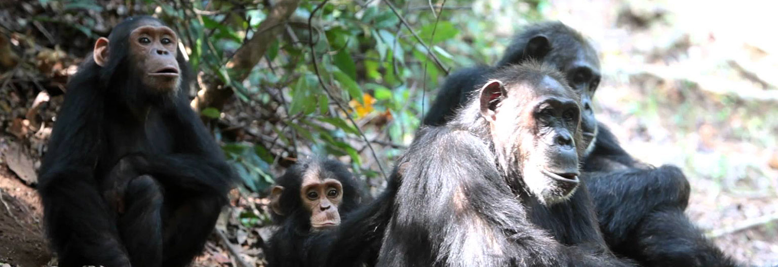 Chimpanzee at Gome Stream National Park
